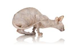 sphynx кота Стоковые Фотографии RF
