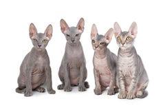 sphynx котов Стоковые Фотографии RF