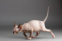 Sphynx Stock Photography