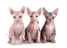 γατάκια sphynx Στοκ φωτογραφία με δικαίωμα ελεύθερης χρήσης