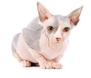γάτα sphynx Στοκ Φωτογραφίες