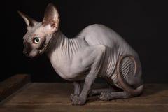 猫sphynx 库存照片
