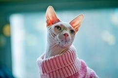 在桃红色毛线衣的Sphynx猫 免版税库存照片