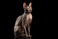 Sphynx adorável Cat Sitting Curious Looks Isolated no preto imagens de stock royalty free