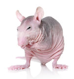Sphynx breed rat on white background Stock Photography
