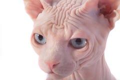 Sphynx Canadese kat Stock Afbeeldingen