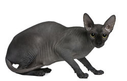 Sphynx cat, 14 months old, sitting Stock Photos