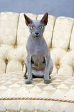 Sphynx cat. Studio shot sitting shynx cat Royalty Free Stock Photo