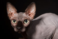 Sphynx cat Royalty Free Stock Images