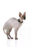 Sphynx cat Stock Photo