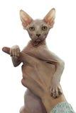 Sphynx cat. Sphynx kitten sitting on man's hands Stock Photos