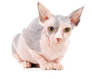 Sphynx cat. Isolated, over white background Stock Photos