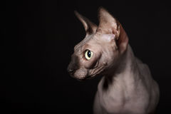 Sphynx cat Royalty Free Stock Image