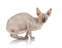 Sphynx Cat. Photo of a Bald Sphynx Cat Stock Image