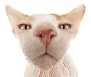 Sphynx Cat. Portrait of a Bald Sphynx Cat Stock Image