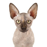 Sphynx Cat. Portrait of a Bald Sphynx Cat Royalty Free Stock Photography