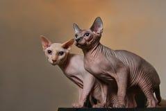 Sphynx cat. Two very strange Sphynx cats Stock Image