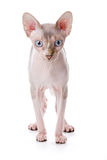 Sphynx cat. With white background stock images