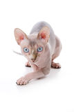 Sphynx cat. With white background Stock Photos