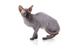 Sphynx cat. With white background royalty free stock images