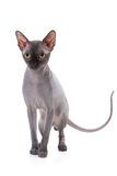 Sphynx cat. With white background Royalty Free Stock Photos