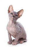 Sphynx cat Stock Photo