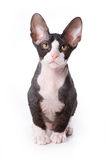 Sphynx cat Stock Images