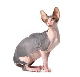 Sphynx cat. Isolated over white Royalty Free Stock Photography
