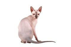 Sphynx cat Royalty Free Stock Image