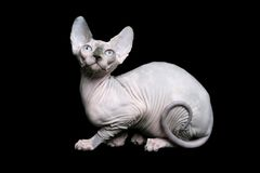Sphynx cat. With curled tail on black background Stock Photography