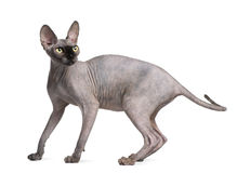 Sphynx cat, 9 months old, standing Stock Images
