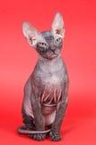 Sphynx cat Royalty Free Stock Photo