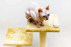 Sphynx cat artificial mouse pet shop stand Stock Image