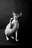 Sphynx cat. Bald cat. Egyptian Cat. In the photo cat breed Sphynx. they are called hairless cats or Egyptian cats. Picture taken in the studio on a dark Stock Images