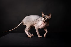 Sphynx cat. Bald cat. Egyptian Cat. In the photo cat breed Sphynx. they are called hairless cats or Egyptian cats. Picture taken in the studio on a dark Stock Image