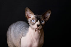 Sphynx cat. Bald cat. Egyptian Cat. In the photo cat breed Sphynx. they are called hairless cats or Egyptian cats. Picture taken in the studio on a dark Stock Photos