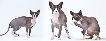 Sphynx cat. Bald sphynx cat. Cute home animal Royalty Free Stock Photography