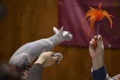 Sphynx cat being held Stock Photo