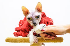 Sphynx cat big eyes handmade dress Stock Images