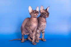 The Sphynx cat on a blue background stock photos