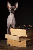 Sphynx cat and books Royalty Free Stock Image