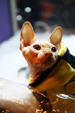 Sphynx cat close up portrait. Sphynx cat in a suit close-up portrait Royalty Free Stock Photo