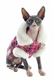 Sphynx Cat dressed Royalty Free Stock Image