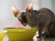 Sphynx cat drinking water. Large eyed grey and brown canadian sphynx cat suddenly seen while drinking water from green bowl on the table Royalty Free Stock Photos