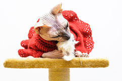 Sphynx cat eating toy funny handmade dress pet shop stand Royalty Free Stock Photography