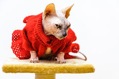 Sphynx cat funny look dress pet shop stand Royalty Free Stock Image