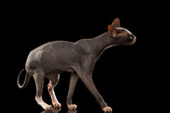 Sphynx Cat Funny Standing Isolated on Black Mirror Royalty Free Stock Image
