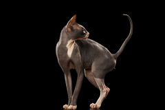 Sphynx Cat Funny Standing and Looking Back Isolated on Black Stock Image