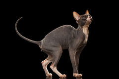 Sphynx Cat Funny Standing and Looking up Isolated on Black Stock Photography