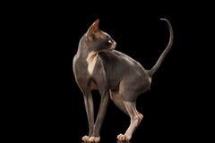 Sphynx Cat Funny Standing und Schauen zurück lokalisiert auf Schwarzem Stockbild